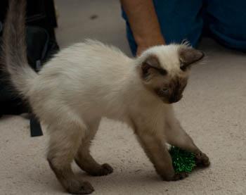 Siamese Cat Scratching Bum On Carpet