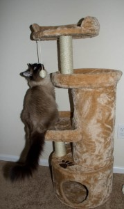 Ichiro on the new cat tree