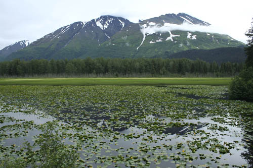 Water Lilies in Alaska