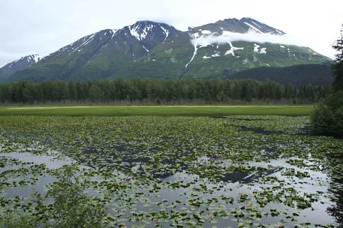 Water Lilies in Alaska