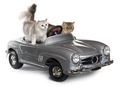 Persian cat, 1 year old, and Norwegian Forest Cat, 5 years old, driving convertible in front of white background