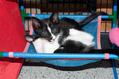 Playful Tuxie Cats