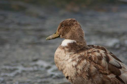 Duck in Profile